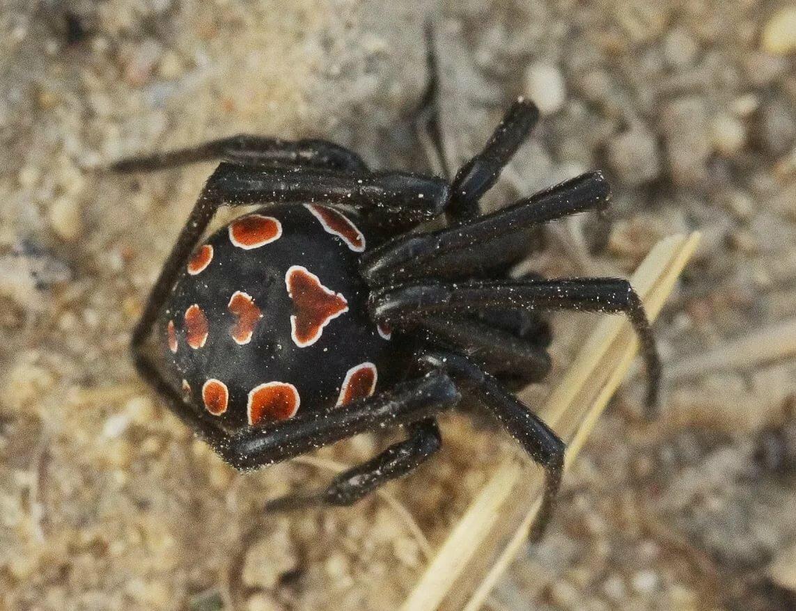 Какие пауки ядовитые в россии картинки